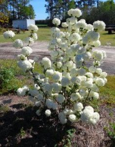 Chinese Snowball Bush Plant viburnum by arborfieldplants on Etsy                                                                                                                                                                                 Mais