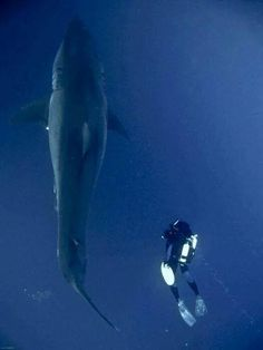 Great White Shark. So gregarious, they are swimming together. :-)