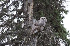 An owl at our campsite in Denali