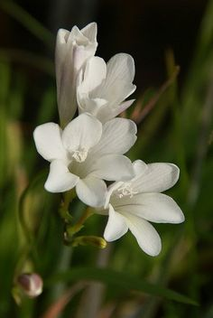 Freesia alba Beautiful 'Fragrant' Freesia is so delicate, and has such a sweet but soft scent. Always perfect!