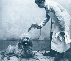 Time to get our hair did lady and a white standard poodle at the old time poodle grooming solutioingenieria Image collections