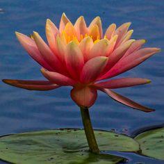 Water Lily 24 by Jesse's Swim, via Flickr