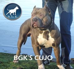 XL Bully Pitbulls - Big Gemini Kennels
