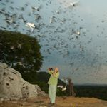 Our mission is to promote understanding of the essential contributions of bats to human economies and healthy ecosystems. http://tinyurl.com/qzpxt69 Merlin Tuttle's Bat Conservation, Merlin Tuttle, bat conservation