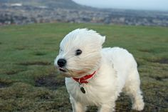 windy westie-lol