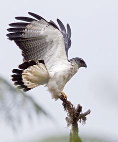 Image result for hawaiian hawk