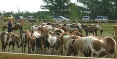 Pony Penning