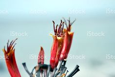 Harakeke (New Zealand Flax) in Bloom royalty-free stock photo New Zealand Flax, Flax Flowers, Annual Plants, Image Now, Royalty Free Stock Photos, Bloom, Easy, Photography, Photograph