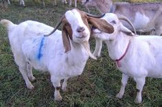 Goats On Instagram Vs. Goats In Real Life. Even our favorite animal can use a filter.