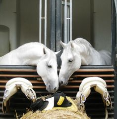 The Spanish Riding School of Vienna's Lipizzan Stallions All The Pretty Horses, Beautiful Horses, Animals Beautiful, Spanish Riding School Vienna, Lippizaner, Lipizzan, Majestic Horse, White Horses, Horse Barns