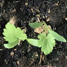 pastinaak, parsnip (π) Garden, Plants, Garten, Lawn And Garden, Gardens, Plant, Gardening, Outdoor, Yard