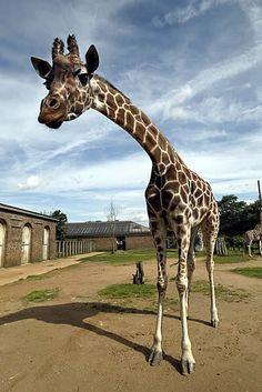 Giraffe at ZSL London Zoo