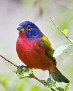 Painted Bunting  ◆  Almost Too Beautiful To Be Real