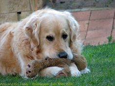 Golden Retriever and his teddy - Thanks to MISS LILLY, who previously pinned this to my canine group board.