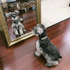 Ranked as one of the most popular dog breeds in the world, the Miniature Schnauzer is a cute little square faced furry coat. Schnauzer Mix, Schnauzer Grooming, Miniature Schnauzer Puppies, Cute Puppies, Cute Dogs, Dogs And Puppies, Doggies, Most Popular Dog Breeds, Beautiful Dogs