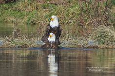 Bald Eagle (winter birds water ). Photo by quickeye
