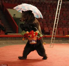 Russian circus - bear abuse...link http://www.dailymail.co.uk/news/article-2273336/Dressed-basket-umbrella-Cruel-photos-shows-circus-bears-forced-perform-Russian-travelling-troupe.html