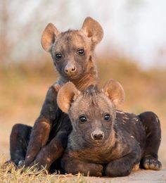 Anne yavru sırtlan Spotted Hyena pups (Crocuta crocuta)