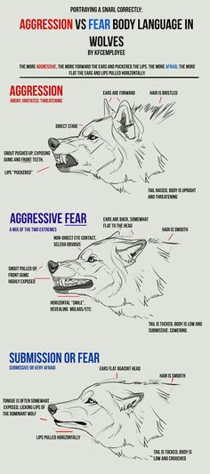 Agression vs Fear in Wolves cheat sheet: Snarls by KFCemployee on DeviantArt < reference sheet wolf emotions Animal Drawings, Animal Sketches, Art Sketches, Drawing Animals, Wolf Drawings, Wolf Head Drawing, Anatomy Reference, Drawing Reference, Design Reference