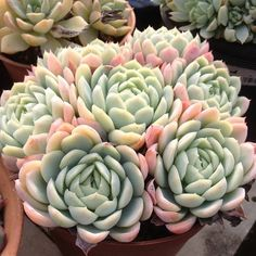 echeveria elegans by Janis Claude-Mayer