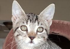 URGENT! Chicken- Amy's Foster * Cat • Tabby - Grey • Young • Male • Medium City of Friendswood Animal Control Friendswood, TX