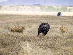 Surrounded: The group of animals start chasing the buffalo as it begins its desperate stru...