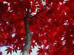 Beautiful Red tree