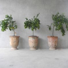Citrus plants in beautiful containers