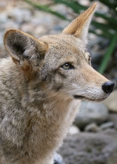 Seen at the Coyote Point Museum. Wild Creatures, Woodland Creatures, Woodland Animals, Wild Animals Photography, Wildlife Photography, Coyotes, Wild Life, Coyote Animal, Coyote Hunting