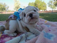 My English Bulldog puppy ♥