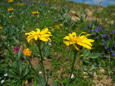 Arnica montana (Valkruid)