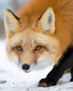 "beautiful-wildlife: ""Red Fox by © bkcrossman """