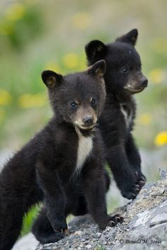 You are in the right place about Cute animals wild Here we offer you the most beautiful pictures about the … Sloth Bear, Bear Cubs, Grizzly Bears, Panda Bears, Tiger Cubs, Nature Animals, Animals And Pets, Wild Animals, Cute Baby Animals