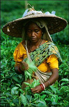"""Harvesting tea leaves. (""""When eating bamboo sprouts, remember the man who planted them."""" ~Chinese Proverb)"""
