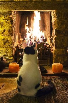 cat looking at fire