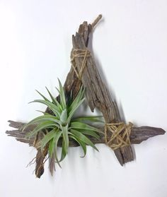 Tillandsia Hondurensis on Rustic Driftwood by CraftOrganic on Etsy