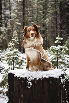 "Souhailbog: "" winter jackets on by ryan field more "" animals Australian Shepherds, Australian Shepherd Puppies, Aussie Puppies, Cute Dogs And Puppies, I Love Dogs, Doggies, Beautiful Dogs, Animals Beautiful, Beautiful Places"