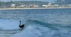 Black swans steal surfing spotlight on Australia's Gold Coast ...