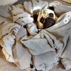 Laundry day... #pugsarestrange #puglife #pugsofinstagram #pug #pugoftheday #bertjethepug #twogirlsandapug #laundryday #fawnpugs #cutedogs #cutepugs #animals