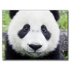 Here are the pictures of cute pandas that will make your day brighter. Enjoy the best collection of cute panda pictures! Niedlicher Panda, Panda Bebe, Cute Panda, Cutest Animals On Earth, Cute Baby Animals, Wild Animals, Cute Animal Videos, Cute Animal Pictures, Bear Pictures