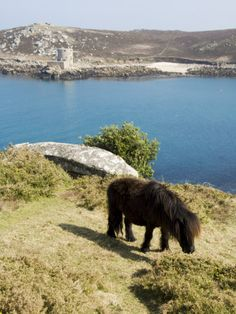 isles of Scilly - Cornwall (OMG that's the horse cousin of highland cattle!)