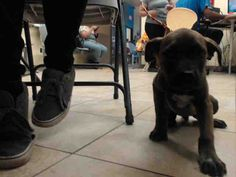 04/18/17-~~PUPPY ALERT!!~owner surrender=no hold time~~ ~ HOUSTON-EXTREMELY URGENT -This DOG - ID#A481652    I am a male, brown Pit Bull Terrier mix.    The shelter staff think I am about 11 weeks old.    I have been at the shelter since Apr 18, 2017.    This information was refreshed 6 minutes ago and may not represent all of the animals at the Harris County Public Health and Environmental Services.