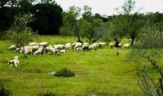 Cork and sheep... Algarve