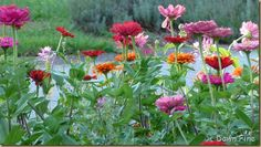 (Tested, approved) Zinnias, an annual but totally worth it.