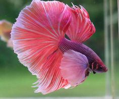 Male Halfmoon big ears. The perfect betta!