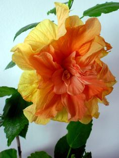 Beautiful Hibiscus - Pixdaus