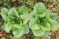 #lettuce