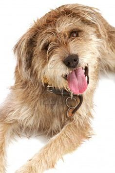 Cute shaggy mixed breed dog with a friendly expression sits looking up at camera  It has floppy ears, beige fur, and a dark leather collar with a dog tag  Isolated on white background, vertical with copy space  Stock Photo