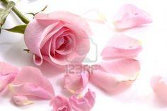 Petals and pink rose