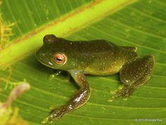 Roque tree frog, Hyloscirtus phyllognathus from Sumaco Volcano, Ecuador: www.flickr.com/andreaskay/sets/72157658179635954